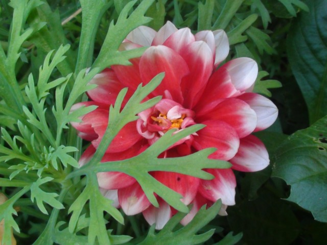 640-Mignons-Blume