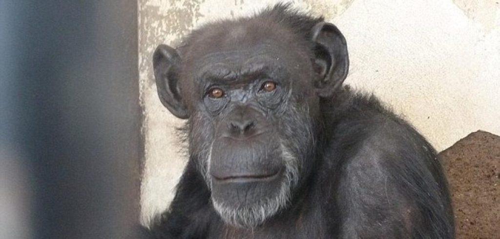 schimpansen-dame-cecilia