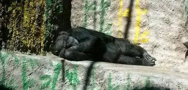 schimpansin-cecilia-schlaeft